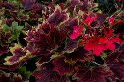 Variegated geraniums