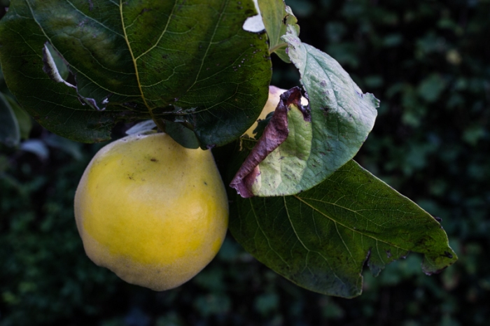 Meeches Prolific Quince