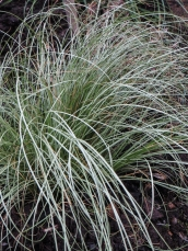 Carex 'Frosted Curls'