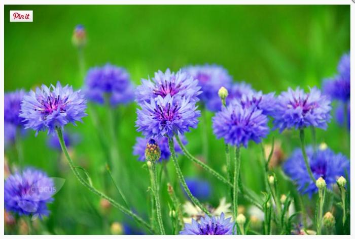 Cornflowers (www.crocus.co.uk)