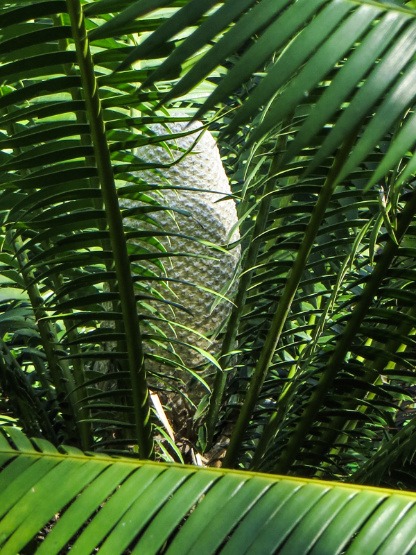 Cycads in the Durban Botanical Gardens