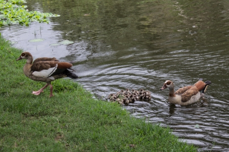 Egyptian Geese & chicks