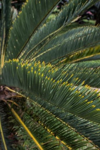 Cycads at Kirstenbosch Botanic Gardens