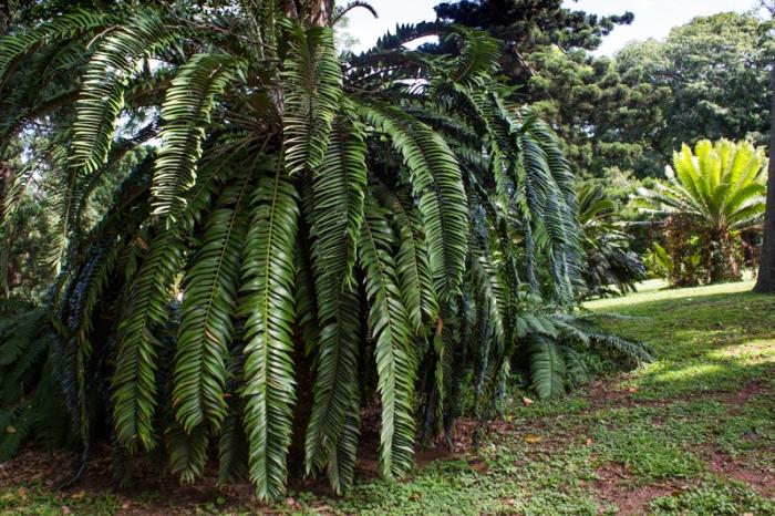Cycads in the Durban Botanical Gardens