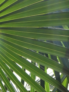 Palm in Durban Botanic Gardens