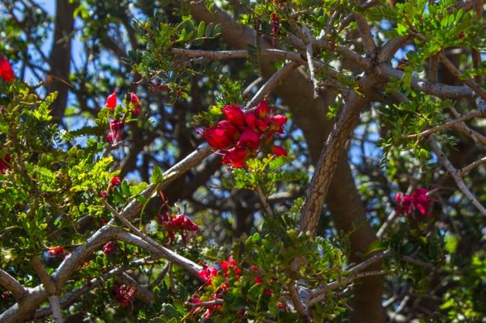 Schotia brachypetala (http://www.plantzafrica.com/plantqrs/schotiabrachy.htm)