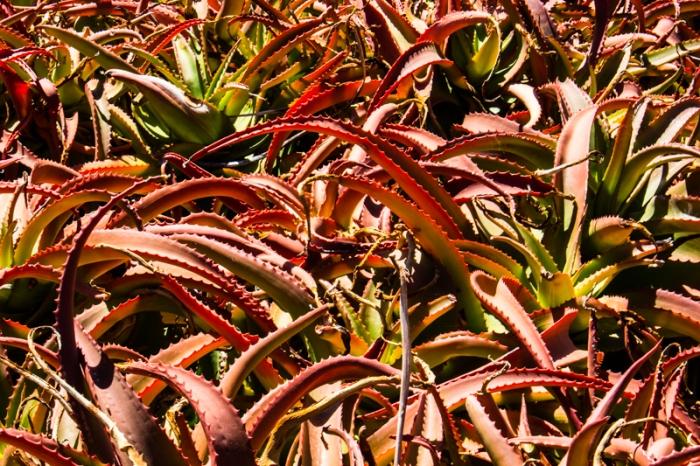 Aloe Vanbalenii in the Karoo Desert Botanic Gardens