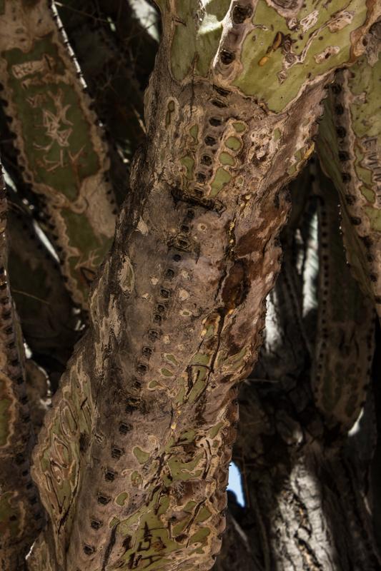 Euphorbia Ingens, Karoo Desert Botanic Gardens