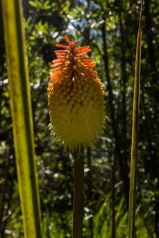 Aloes in Kirstenbosch Botanic Gardens
