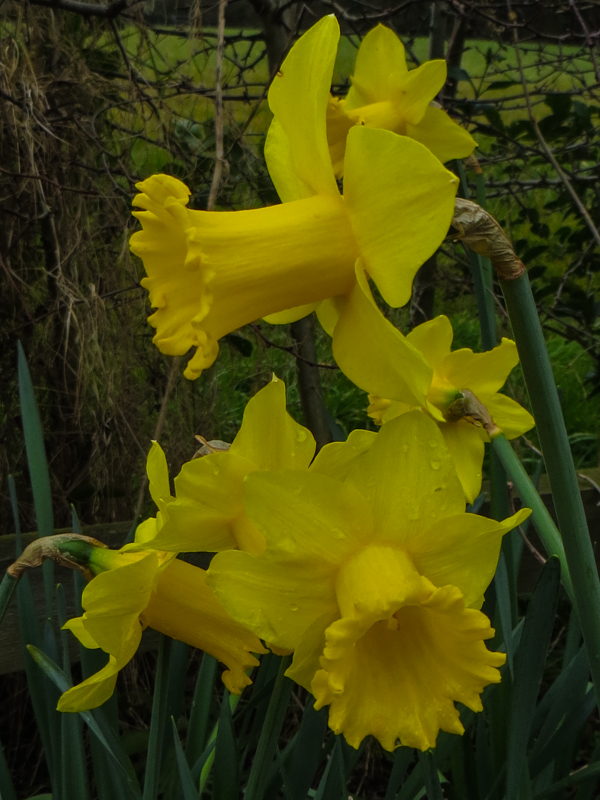 Dutch Master Daffodils in Suffolk