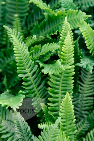 Blechnum Spicant (www.crocus.co.uk)