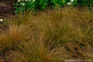 Carex Testacea (http://www.knollgardens.co.uk/product/carex-testacea/)