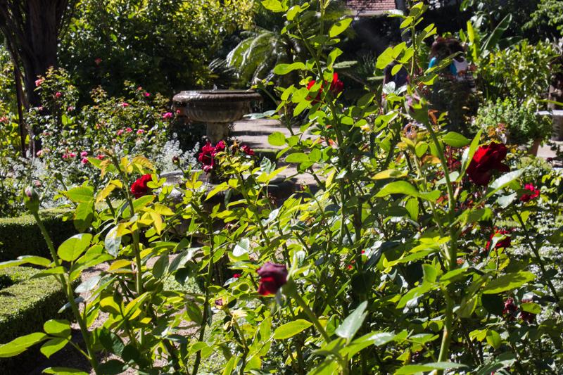 The Rose Garden in Stellenbosch Botanic Gardens