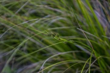 Grass flower, Stellenbosch Botanic Gardens