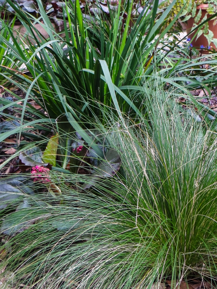 Libertia and Stipa Tenuissima
