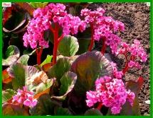 Bergenia 'Ballawley' (http://www.saxifraga.org/plants/saxbase/gallery.asp?Taxon=1036)