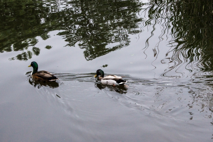 Ducks at Lavender Pond