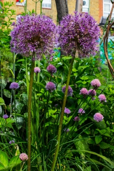 Alliums & Chives in the Brunel Museum Garden
