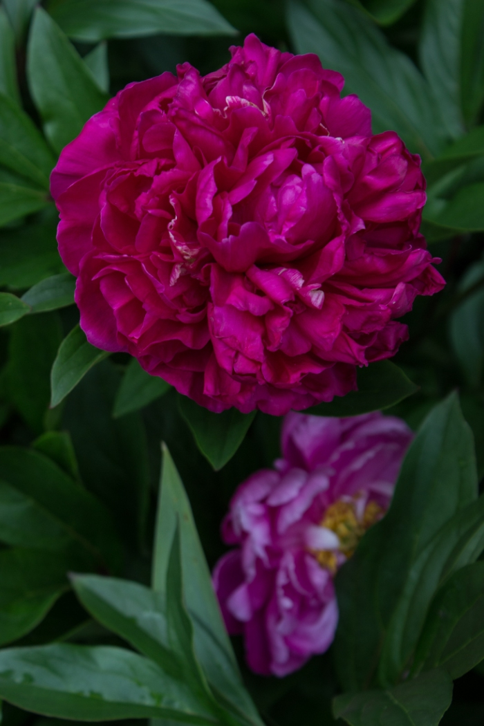 Paeony at Woollen House