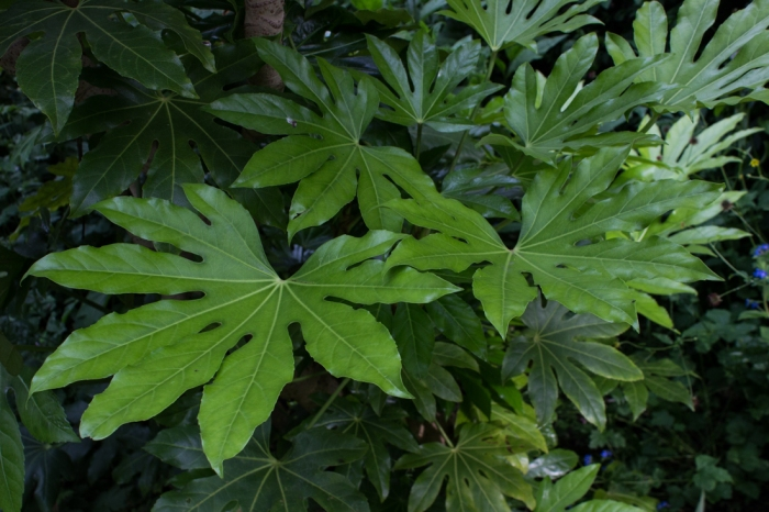Fatsia Japonica at Woollen House