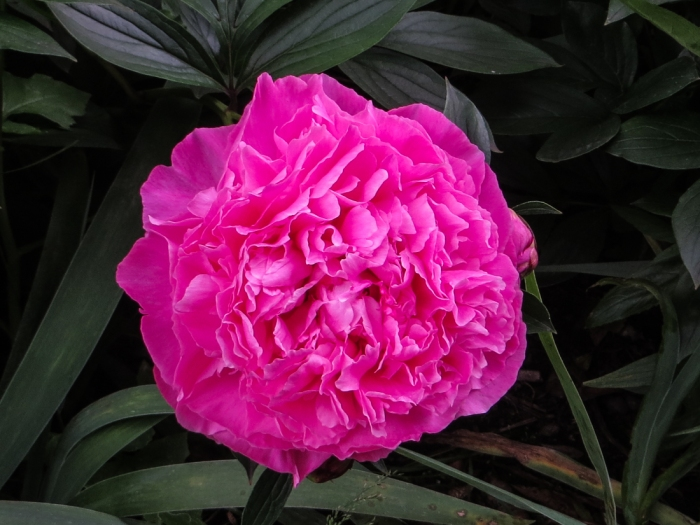Paeonies in Greenwich Park