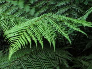 Ferns in Bina Gardens East