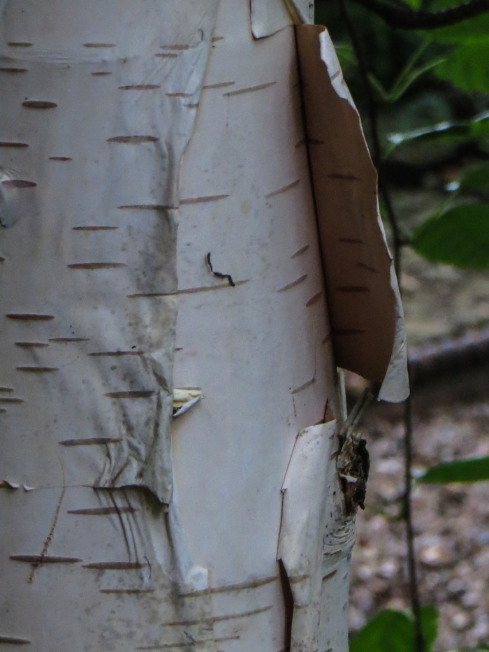 Paperbark Birch in Bina Gardens East