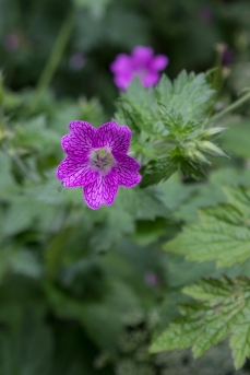 Geraniums in Gledhow Gardens