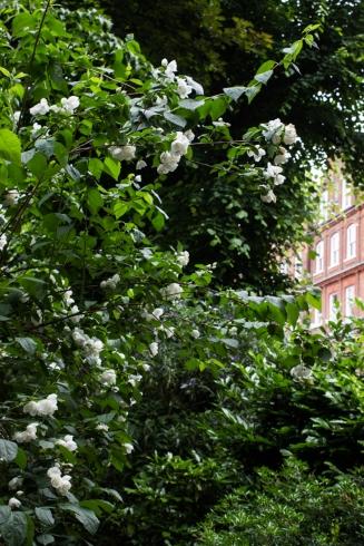 Philadelphus in Gledhow Gardens