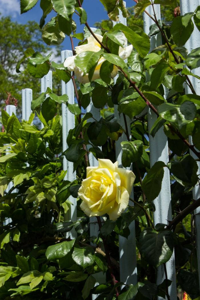 Roses around the garden in the Brunel Museum