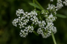 Anthriscus - Cow Parsley