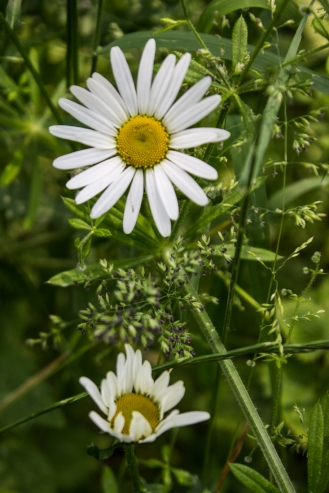 White daisy at Stave Hill
