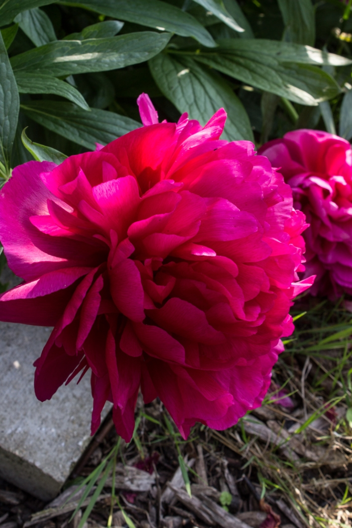 Paeonies in Cable Street Community Gardens