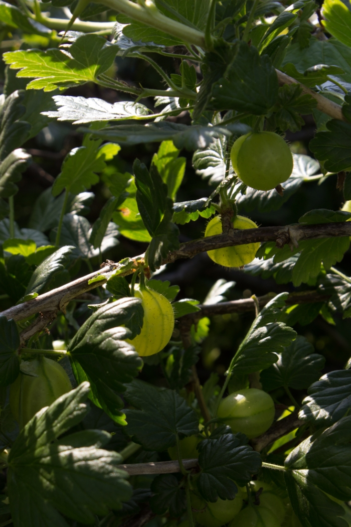 Gooseberries in Cable Street Community Gardens