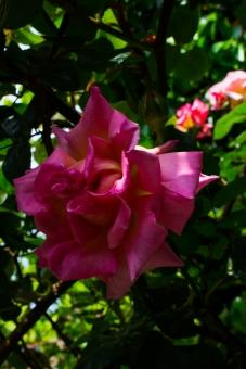Roses in Winterton House