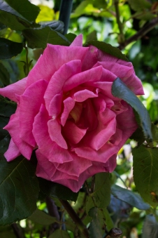 Roses at Winterton House