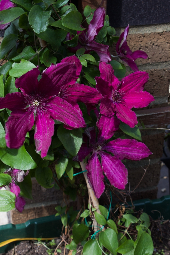 Clematis over the Pergola at Winterton House