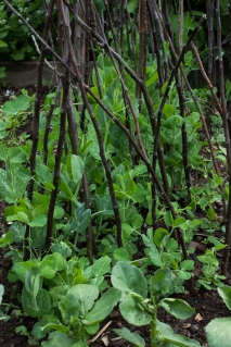 Peas in Cable Street Community Gardens
