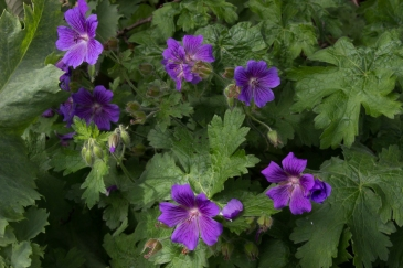 Geraniums in Cable Street Community Gardens