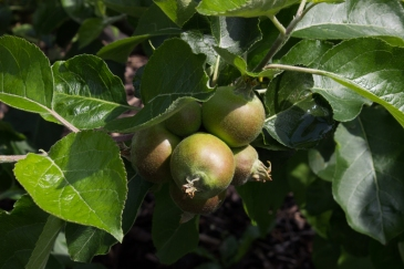 Apples in Cable Street Community Gardens
