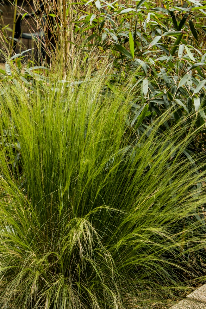 Stipa Tenuissima at Winterton House