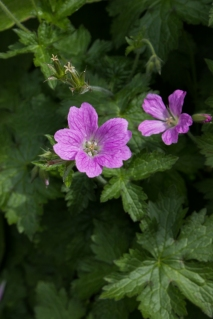 Geraniums at Winterton House