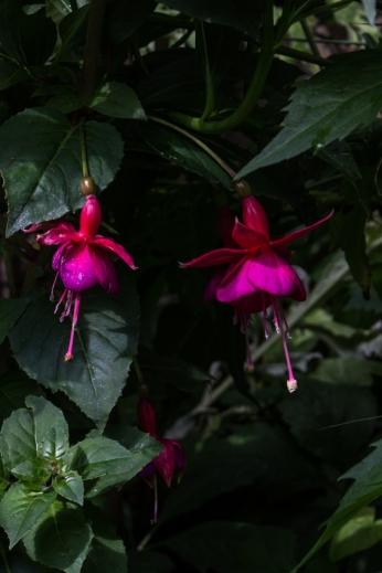 Fuchsia at Winterton House