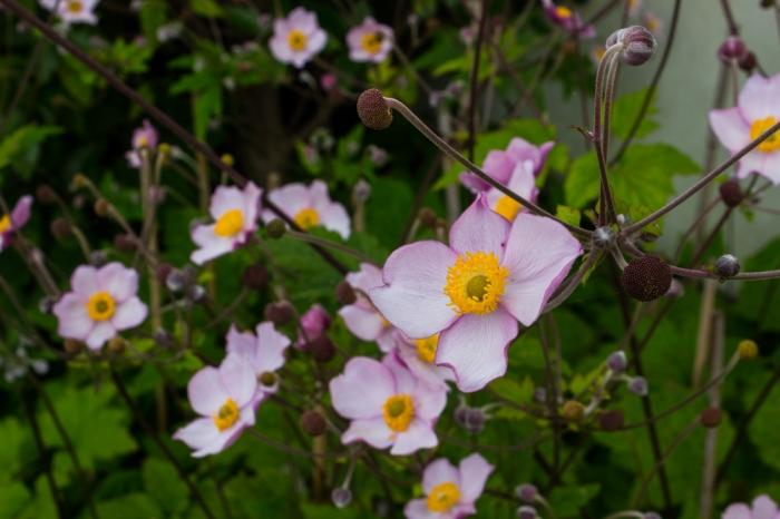 Japanese Anemones 'Hadspens Abundance'