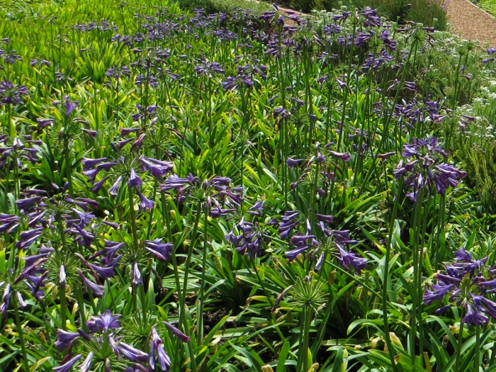 Agapanthus field at Vergelegen, Cape