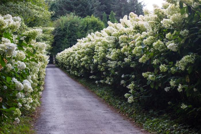 Hydrangea Paniculata at the entrance to the Parc Botanique de Haute Bretagne