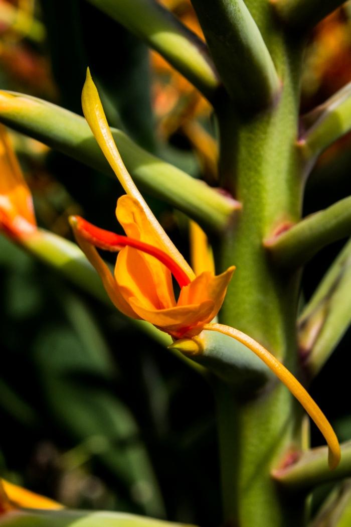 Hedychium Coccineum