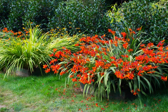 Montbretia flowering in the Parc Botanique de Haute Bretagne in very late August