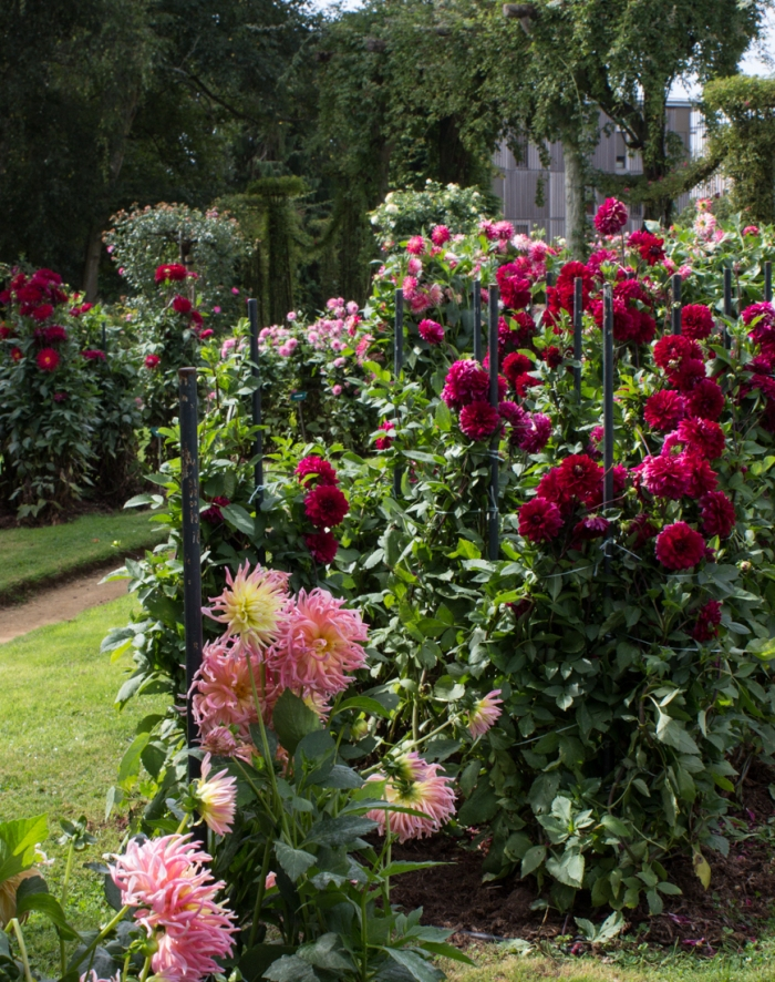 Dahlias in the Thabor Gardens, Rennes