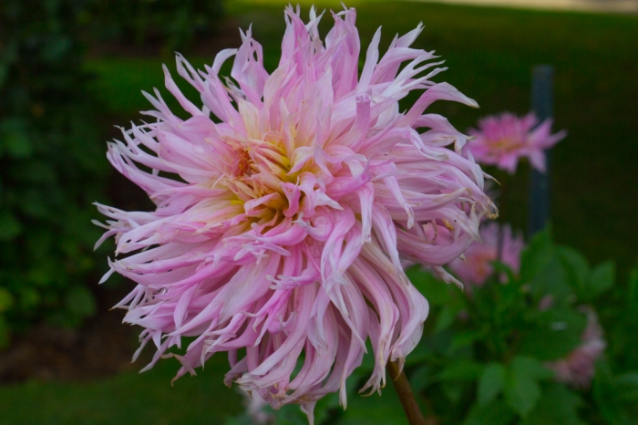 Dahlia 'Eurydice'